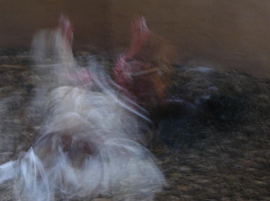 Pelea de gallos (sin espuelas) 6